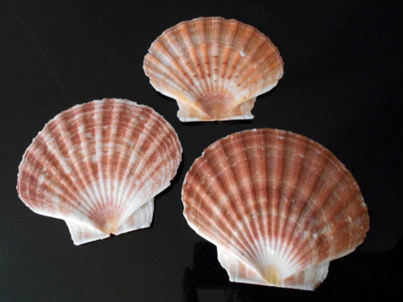 "3 Extra Large Irish Flat Scallops Shells Seashells 5""+ Crafts Beach Cottage Deco"