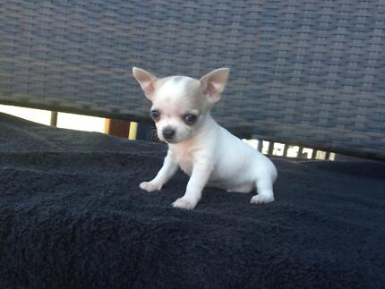 Chihuahua Puppies for sale Pheasants Nest Wollondilly Area Preview