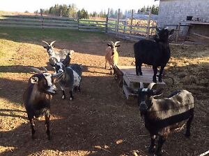 6 female goats for sale
