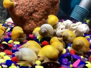Mystery/ Apple SNAILS