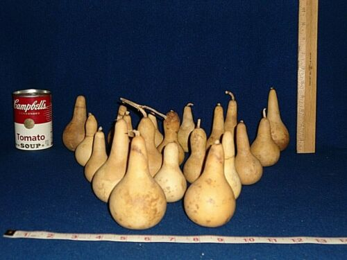 20 HARD MINI PEAR/BOTTLE GOURDS - dried - Lot #2