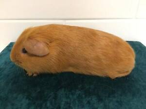 Well handled baby buff guinea pig 5 weeks
