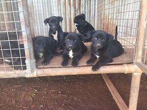 Kelpie x Border Collie Pups Yarraman Toowoomba Surrounds Preview