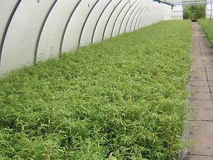 10 fargesia rufa 30 40 cm bambus gr ser sichtschutz hecke 0 ausl ufer ebay. Black Bedroom Furniture Sets. Home Design Ideas
