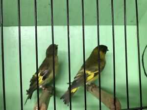 Mutation Siskins for sale