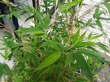 TIGER GRASS BAMBOO IN 300MM POT (VERY LARGE) Marsden Logan Area Preview