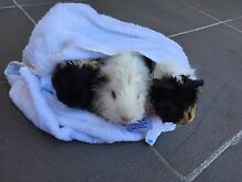 Guinea pigs need new loving home Rhodes Canada Bay Area Preview