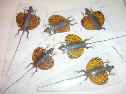 Draco volans volans Nice Flying Dragon  Wholesale 6 Lot Great for Framing