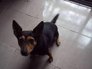 Free Dog- fox terrier x Halls Gap Northern Grampians Preview