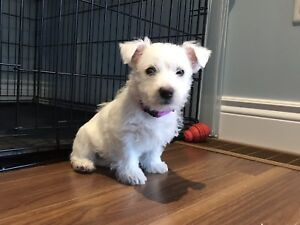 West Highland White Terriers ( Westie ) Puppies - READY TO GO