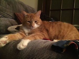 Orange cat for rehoming