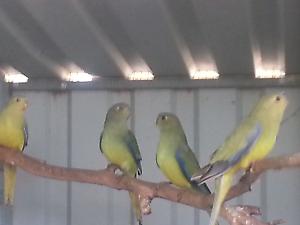 For sale cinnamon elegant parrots Adelaide CBD Adelaide City Preview