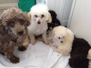pure bred toy poodles pups Singleton Singleton Area Preview