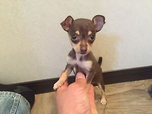 Mini chihuahua puppy for sale