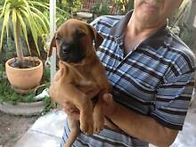 Amstaff purebred 9 weeks old  1 male and 1 female tan puppies . Felixstow Norwood Area Preview