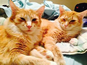 2 neutered male cats