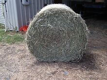 Prime Leafy Rhodes Grass Hay Glamorgan Vale Ipswich City Preview