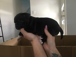 French bulldog puppies Springfield Lakes Ipswich City Preview