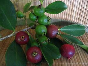 Cherry guava / Strawberry guava, pot or garden fruit plants. Padbury Joondalup Area Preview