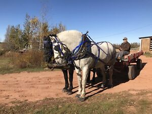 Well trained Percheron