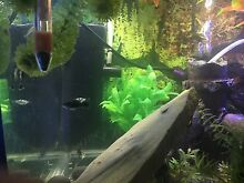 Dalmation Mollies, Bristlenose and Platy young fry Lurnea Liverpool Area Preview