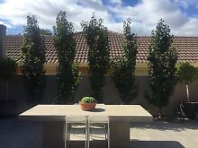 5 X ornamental pear trees 3m high Somerton Park Holdfast Bay Preview