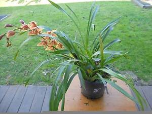 Beautiful Cymbidium Orchid Flowering  Large & Healthy Established Mordialloc Kingston Area Preview