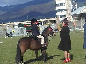 Two Welsh ponies Mount Hicks Waratah Area Preview