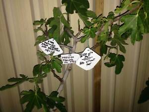 Fig Tree, Preston Prolific.  $100.