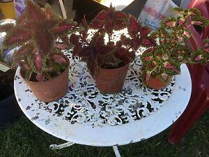 Decoration plant Rosemeadow Campbelltown Area Preview