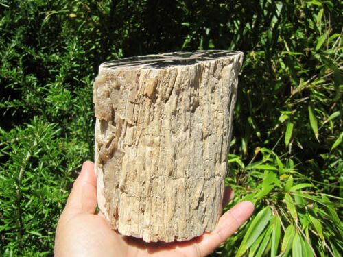 """Blue Forest Petrified Wood Collectible Fossil Specimen Decor Wyoming 5.9lb 4""""Dia"""