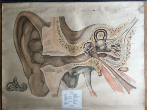 Antique Anatomic medical poster - Ear by Rudolf Schlick