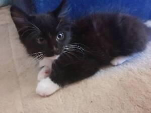 Kitten 12 weeks all vet work
