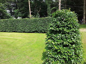 5 Green Beech 6-7ft Instant Hedging Trees,Copper Winter Colours.All Year Cover