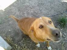 Benjie Jack Russell / Kelpy cross needs new home Beveridge Mitchell Area Preview