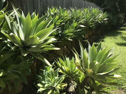 Agave's in perfect condition various sizes pups from $2