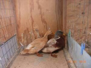 Pair Saxony Bantam Ducks Penguin Central Coast Preview