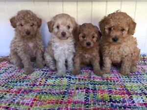 Adorable Toy Cavoodle Puppies