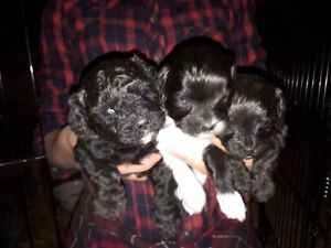 Bichon Shih Tzu Puppies - Just in time for Christmas