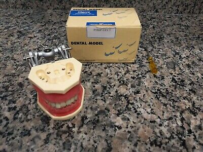 Kilgore P15dp Typodont Dental Model