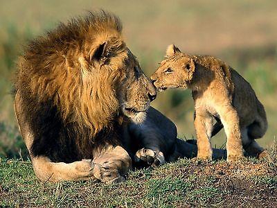 Lion Cub Picture (Lions / Lion & Cub 8 x 10 / 8x10 GLOSSY Photo Picture )