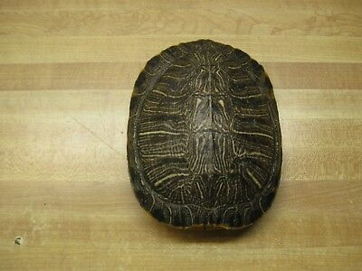 Turtle Shell Red Ear Slider Shells 5 to 6 Inch Long