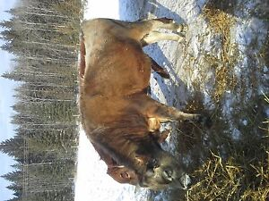 yearling jersey bull