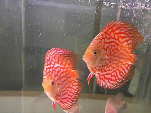 FEB SHIPMENT Forest and Chan discus - NEW ARRIVALS Como South Perth Area Preview