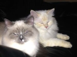Cute cuddly Ragdoll kittens
