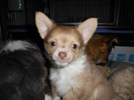 CHIHUAHUA,  TEACUP pure breed female Mangrove Mountain Gosford Area Preview