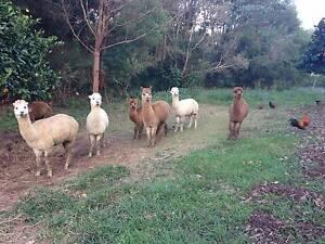 4 desexed male & 3 female Huacaya Alpacas Myocum Byron Area Preview
