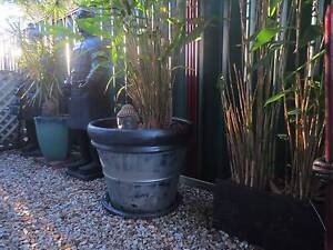 HUGE POTS WITH MATURE TIGER GRASS PLANTS Capalaba Brisbane South East Preview
