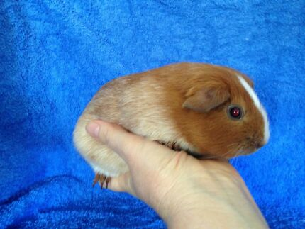 For Sale. Guinea pig Baby Boy. Buff Roan