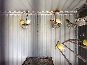 Canaries males and females Success Cockburn Area Preview